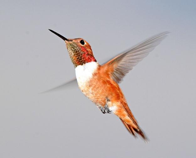 Rufous Hummingbird_Alan Schmierer_640x516